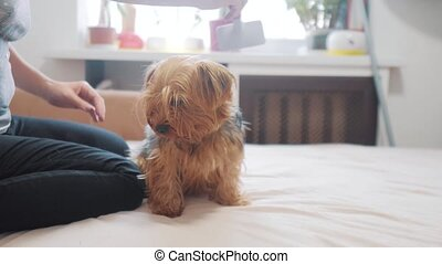 woman brushing her dog. dog funny video. girl combing a little shaggy dog pet care.woman using a comb brush Yorkshire Terrier. friendship and care for pets lifestyle dogs concept