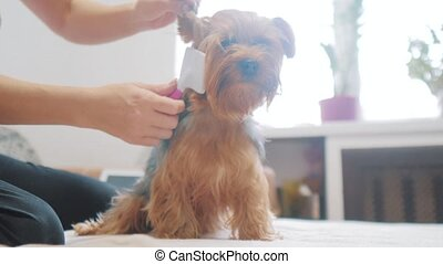 woman brushing her dog. dog funny video. girl combing a little shaggy dog pet care.woman using a comb lifestyle brush Yorkshire Terrier. friendship and care for pets dogs concept