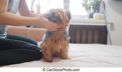 woman brushing her dog. dog funny video. girl combing a little shaggy dog pet care.woman using a comb brush Yorkshire Terrier. friendship and care for pets dogs concept lifestyle