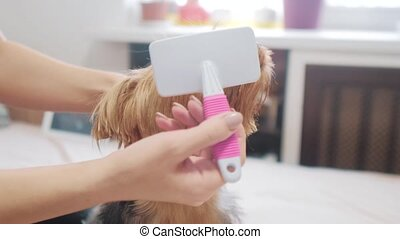 woman brushing her dog. dog funny video. girl combing a little shaggy dog pet care.woman using a comb brush Yorkshire Terrier. lifestyle friendship and care for pets dogs concept