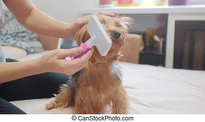 woman brushing her dog. dog funny video. girl combing a little shaggy dog pet care.woman using lifestyle a comb brush Yorkshire Terrier. friendship and care for pets dogs concept