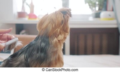 woman brushing her dog. dog funny video. girl combing...