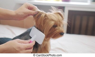 woman brushing her dog. dog lifestyle funny video. girl combing a little shaggy dog pet care. woman using a comb brush Yorkshire Terrier. friendship and care for pets dogs concept