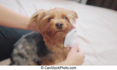 woman brushing her dog. dog lifestyle funny video. girl...