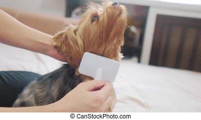 woman brushing her dog. lifestyle dog funny video. girl...