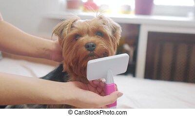 woman brushing her dog lifestyle . dog funny video. girl...