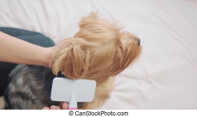 woman brushing her lifestyle dog. dog funny video. girl combing a little shaggy dog pet care. woman using a comb brush Yorkshire Terrier. friendship and care for pets dogs concept