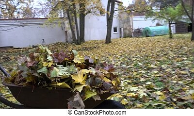 woman carries leaves in wheelbarrow. Autumn work in garden. 4K