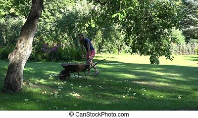Woman carry barrow and gather windfall fruits to it under...
