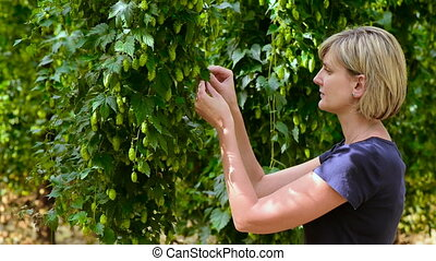 Woman checking hop cones in the hop field then rotating and...