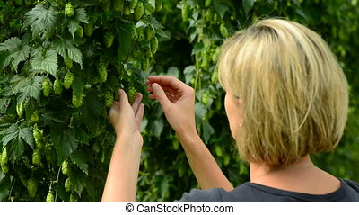 Woman checking hop cones in the hop field. Beer production...