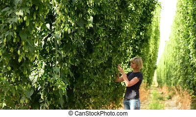 Woman checking hop cones in the hop field - Woman walking in...
