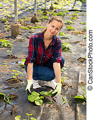 Woman checking potted tomato plants