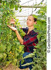 Woman checking ripening crop of tomatos