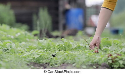 Woman collecting radish in their farm. Close up