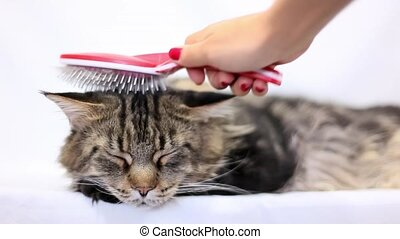 Woman combing fur of a Maine Coon cat