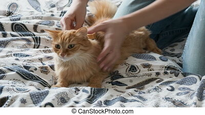 Woman combs a cute ginger cat fur. Fluffy pet frowning of...
