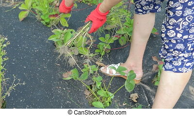woman cultivating strawberries in the garden - women's hands...