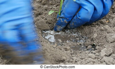 Woman digs into the ground a green procession of sweet Bulgarian pepper close up view