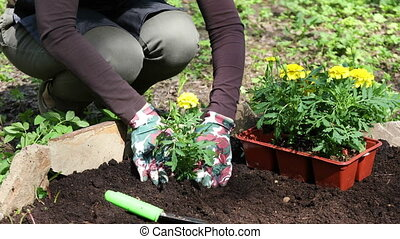 Woman digs soil and puts marigolds flowers - Woman gardener...