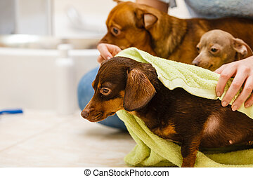 Woman drying dachshund after shower