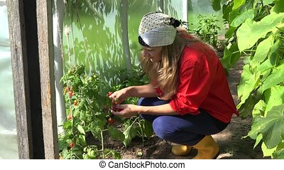 woman eat fresh tomato harvest in greenhouse at summertime. 4K