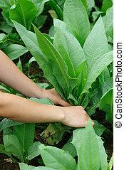 woman farmer hands picking green indian lettuce in vegetable garden