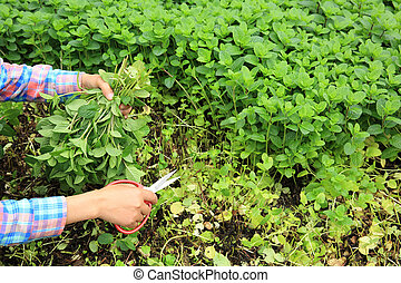 picking mint leaves in garden
