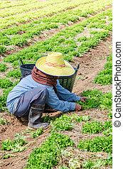 Woman farmer harvesting vegetables