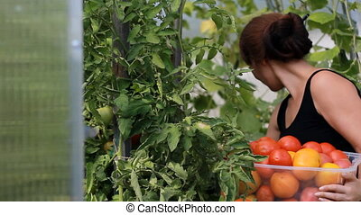 Woman farmer is harvesting vegetables in a greenhouse. Grows...