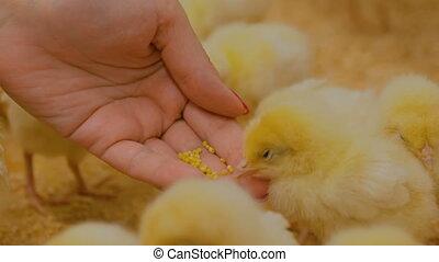 Woman feeding baby chickens on farm - Woman feeding baby...