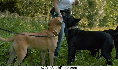 Woman feeding four dogs - Middle-aged woman feeding four...