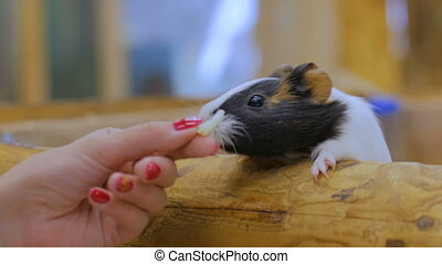 Woman feeding two guinea pigs in zoo - Woman feeding two...