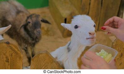 Woman feeding white goats on farm