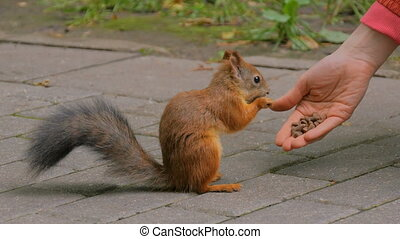 Woman feeds squirrels in the park. Squirrel takes food from...
