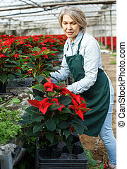 Woman florist checking Poinsettia in greenhouse