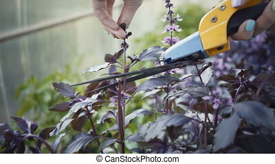woman gardener cuts pruner basil. Closeup