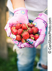 Woman gardener holding strawberries in hands