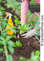 Woman gardener working on plants - Close up Woman farmer...