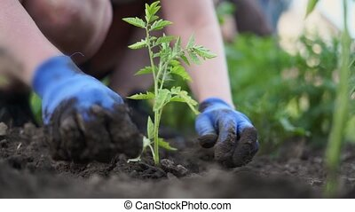 Woman gardening tomato sprouts into the soil on her backyard garden. Natural organic food. High quality FullHD footage
