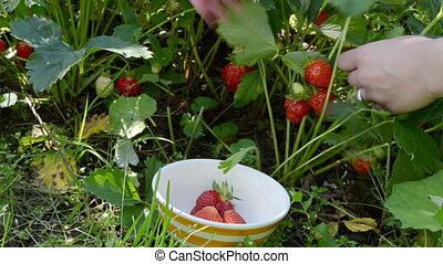 woman gather berry dish