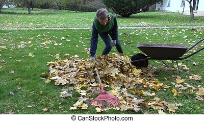 woman gather dry maple leaves in barrow in yard. Autumn...