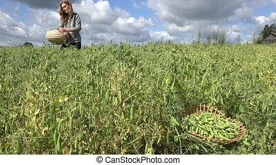 woman gather green pea with wooden basket on field in summer. 4K