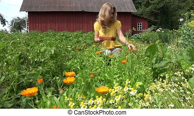 woman gather marigold blossom wicker plate in summer garden. 4K