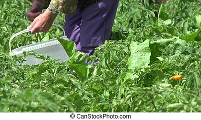 woman gather parasite colorado bug potato plant in garden....