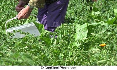 woman gather parasite colorado bug potato plant in garden....