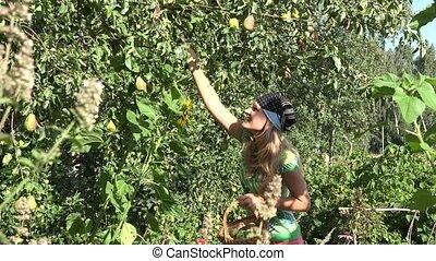 woman gather pear fruit in eco garden. Summer garden harvest. 4K