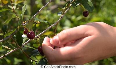 Woman gathering cherries