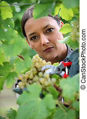 Woman gathering grapes from vine
