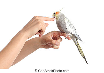 Woman hand holding a cockatiel bird nibbling her finger isolated on a white background